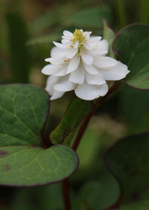ドクダミ 八重咲き 29.5.26