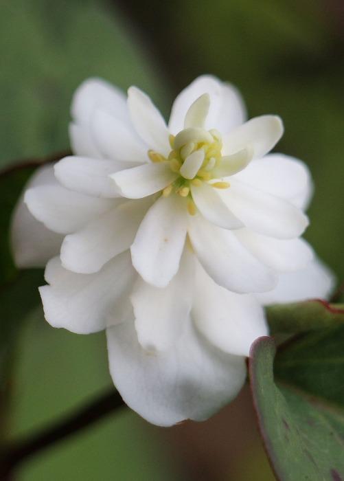 八重咲きドクダミの花 29.5.26