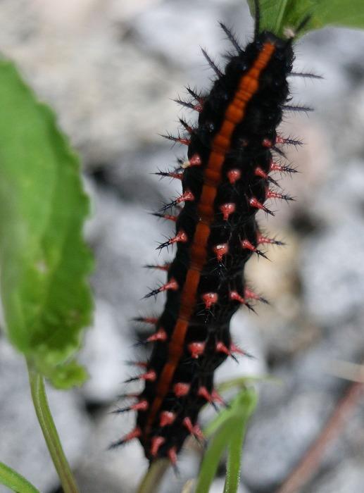 蝶の幼虫 上向きに 29.5.26