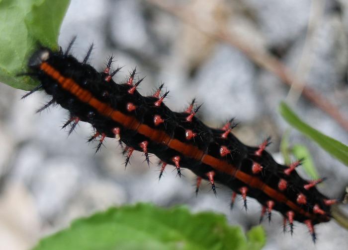 ツマグロヒョウモンの幼虫 29.5.26