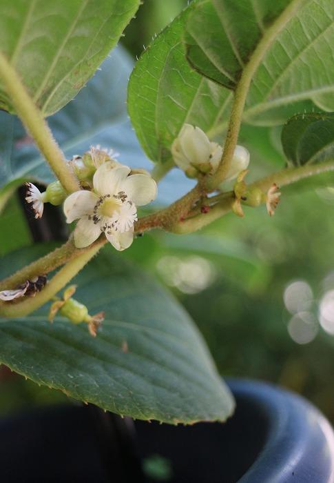 サルナシの花 29.5.26