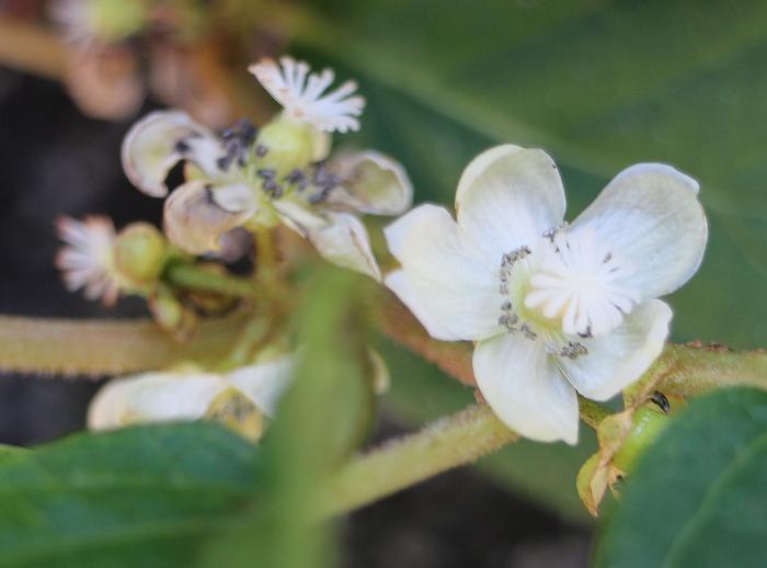 植木鉢のサルナシの花 29.5.26