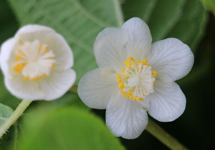 マタタビの白い花 29.5.25