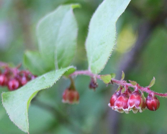 夏ハゼの花です 七宝 29.5.27