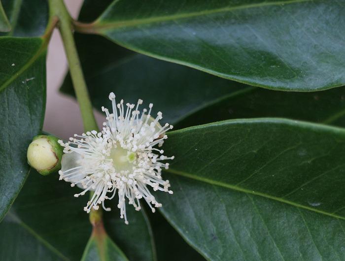 グァバの花 29.5.26