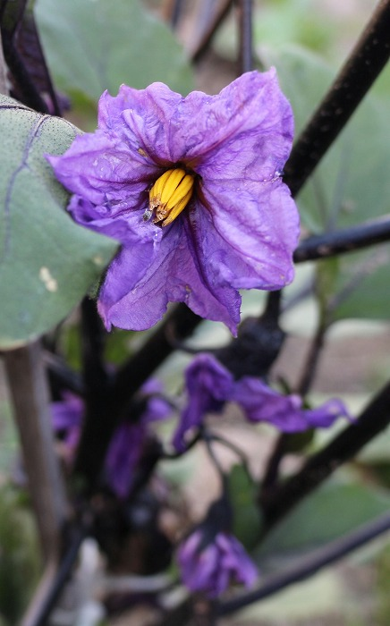 ナスの花 紫 29.6.7