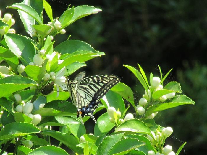 蜜柑の花にもアゲハ 29.6.9