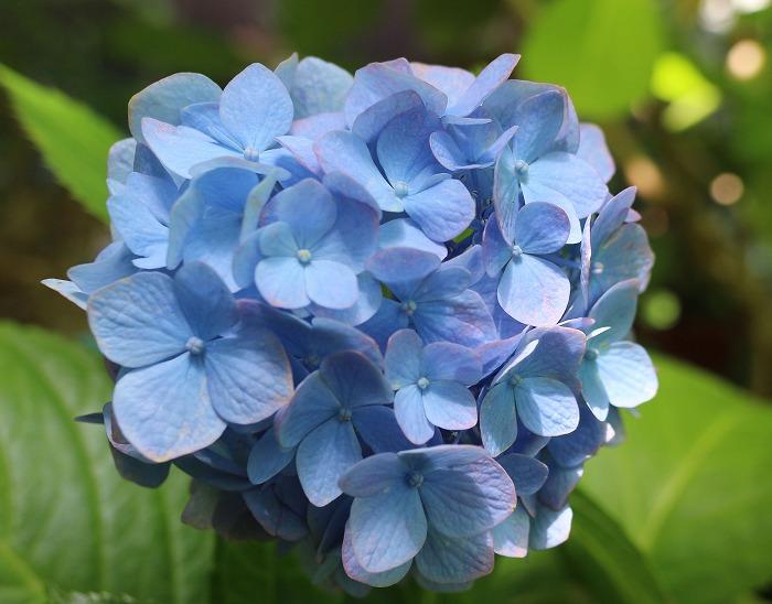 青い紫陽花 29.6.9