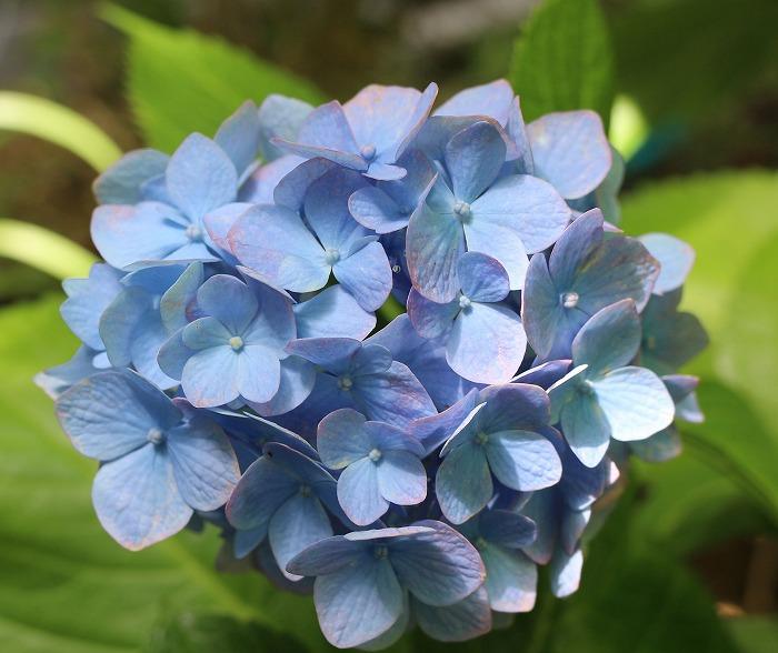 紫陽花 青い花 29.6.9