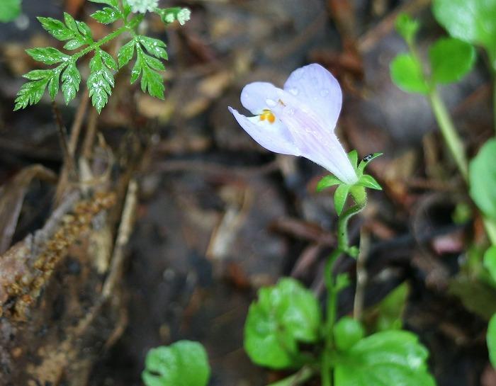 紫サギゴケ ③ 29.5.19