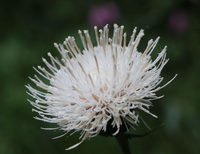 白いアザミの花 29.6.10