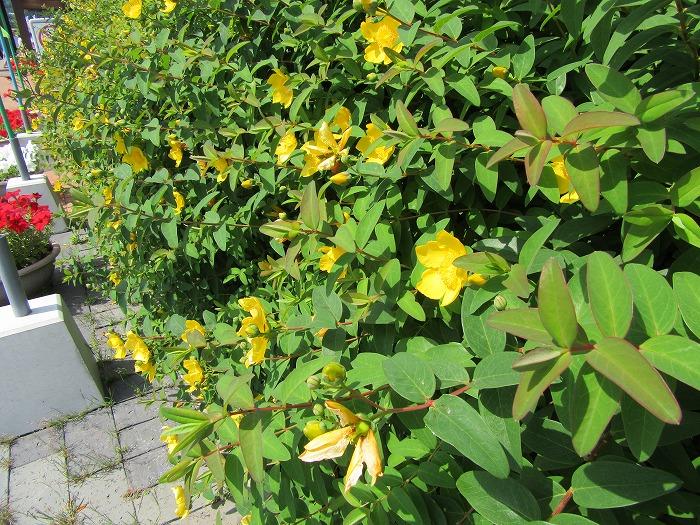キンシバイいっぱい花 29.6.3