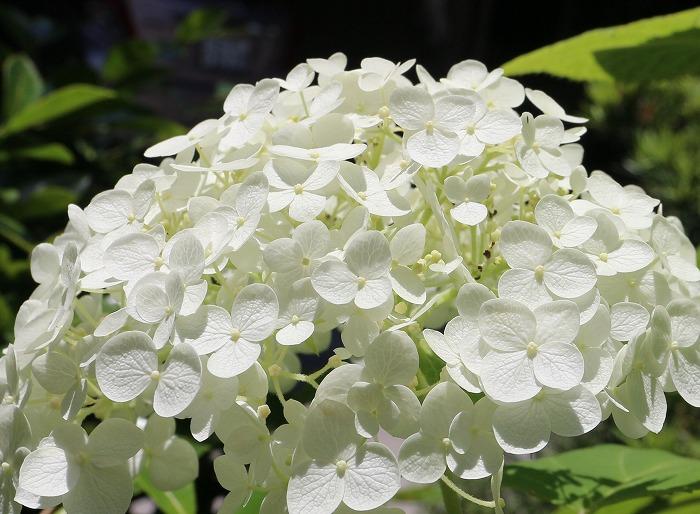 アナベルの花 29.6.19