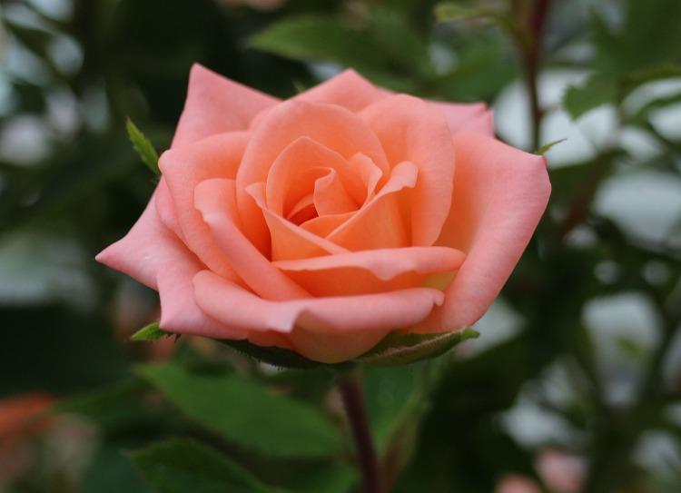 薔薇の花 尾道 29.6.20