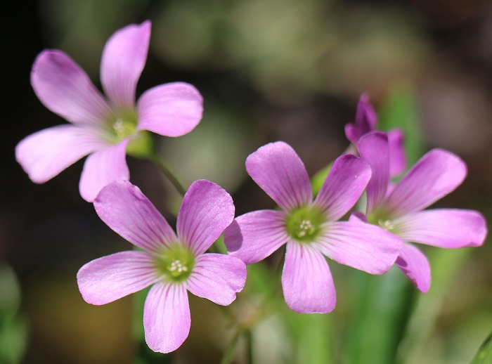 ムラサキ酸漿の花 29.6.24