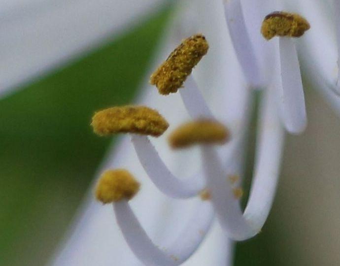 蕊と花粉のみ 29.6.24