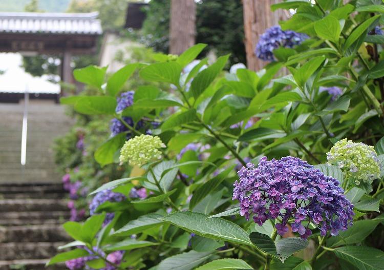 圓明院の山門まで紫陽花 29.6.29