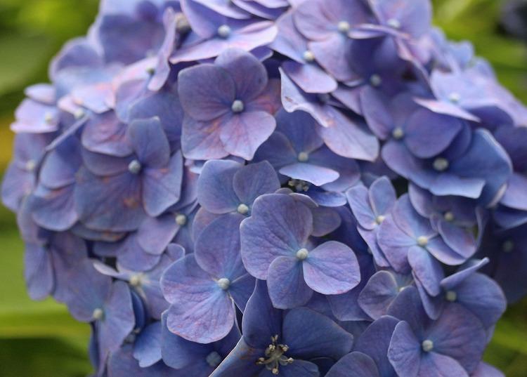 圓明院紫陽花 1 29.6.29