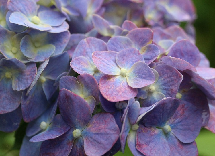 圓明院紫陽花 5 29.6.29