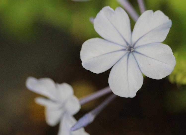 ルリマツリ 花 29.7.4