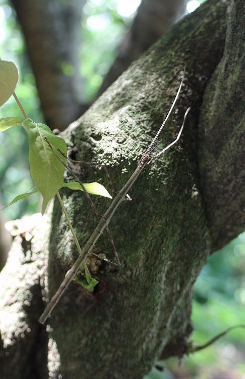 藤の樹に登り始めたナナフシ 29.7.3