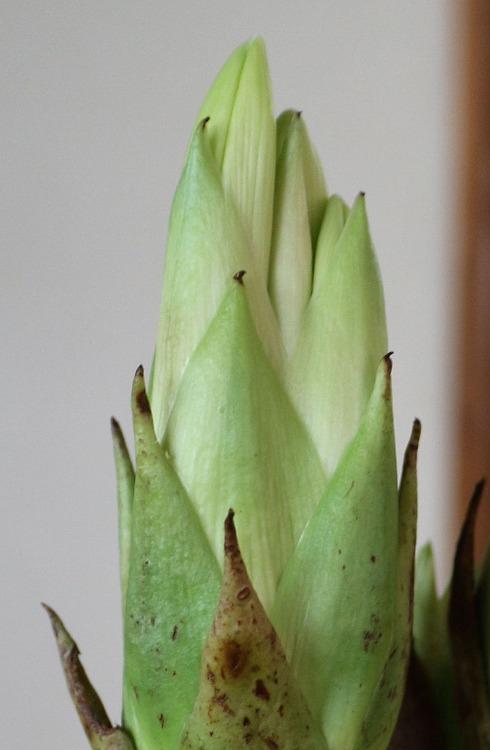 ウバユリの花開くかも 29.7.6