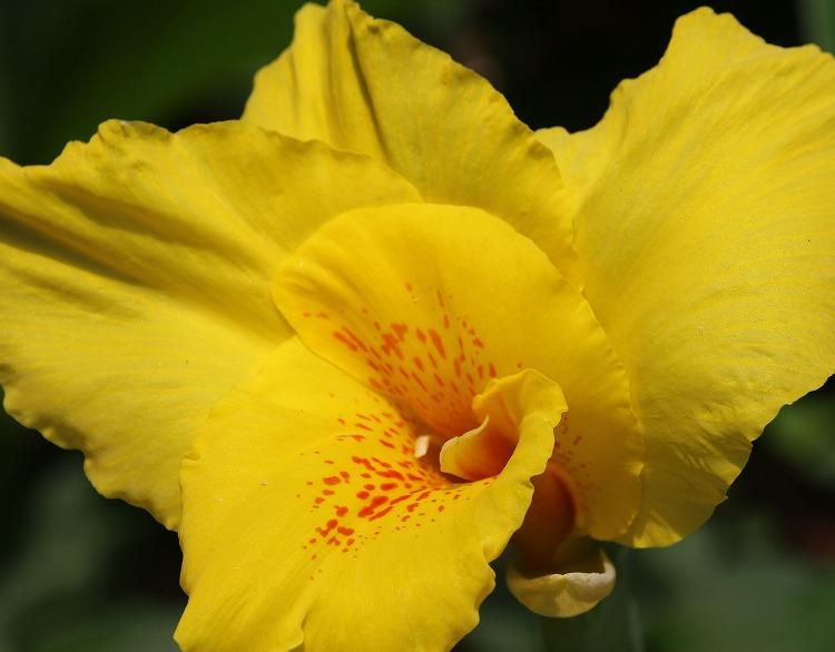 カンナの花に近付いて 29.7.8