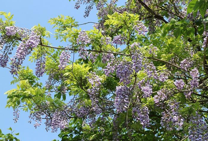 藤の花 短い花 29.4.29