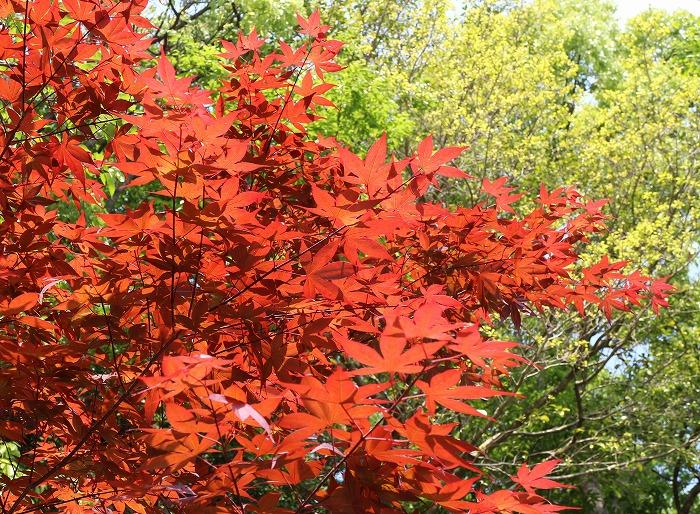 紅い葉と緑の葉 29.5.8