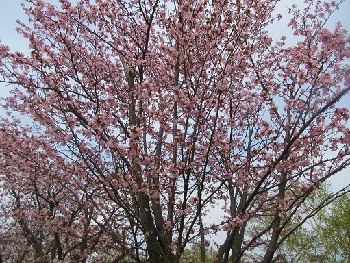 170505-246桜満開(S)