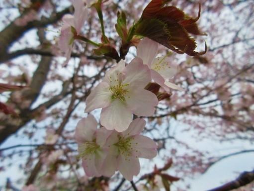 170505-247桜アップ(S)