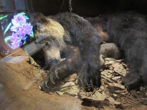 170506-216冬眠中の熊(S)