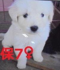 保7 平成29年5月29日 市役所 上野新里 雑種 ♀ 白 小 02
