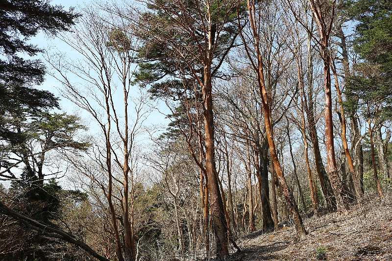 IMG0896JPGヒメシャラの林