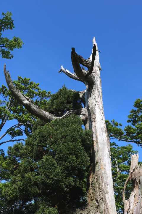 IMG1583JPG白骨樹と青空