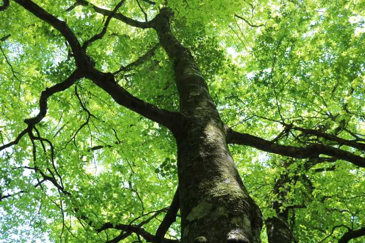IMG1678JPGブナの大木と新緑