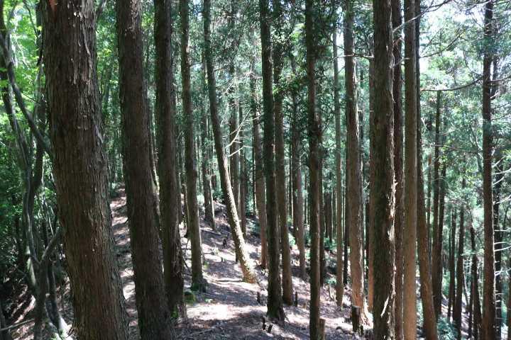 IMG1701JPG杉林の稜線