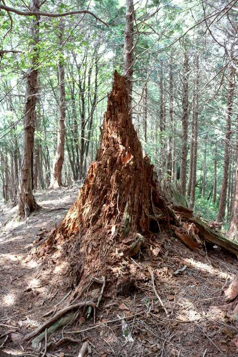 IMG1739JPG北尾根のシンボル老枯木