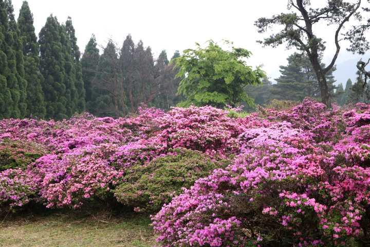 IMG1866JPG花公園のミヤマキリシマ1
