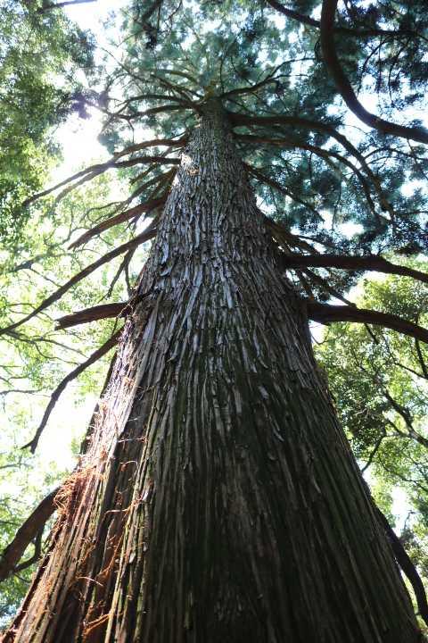 IMG2082JPG上宮下の杉の大木