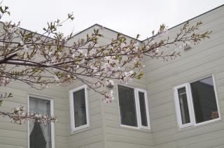 わが家の桜
