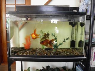 水槽内の金魚