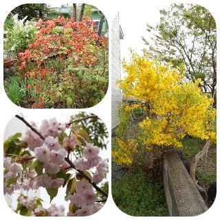 4桜・つつじ・レンギョ