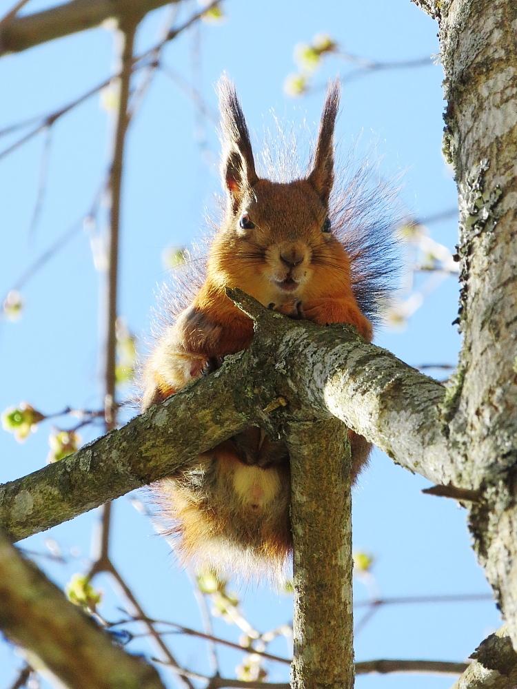 フィンランド リス 庭の訪問者 Orava