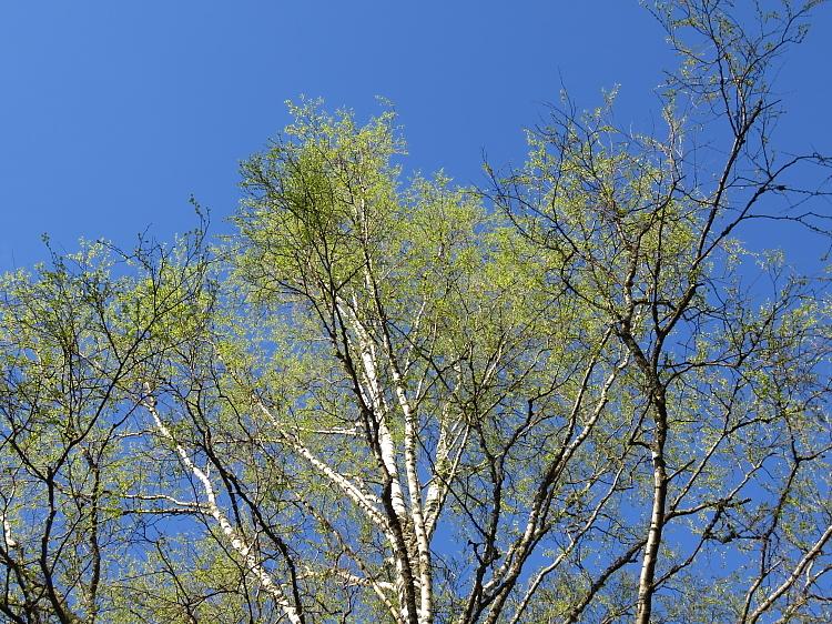 フィンランド 春 新緑