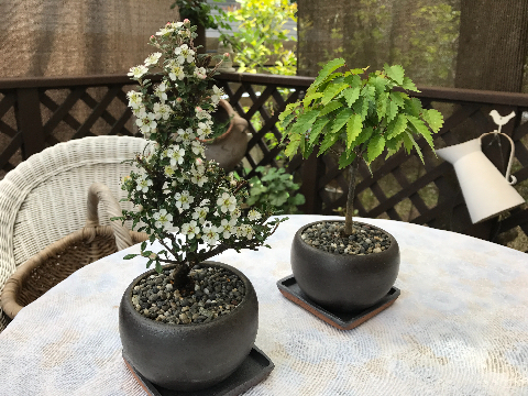 mini_bonsai.jpg