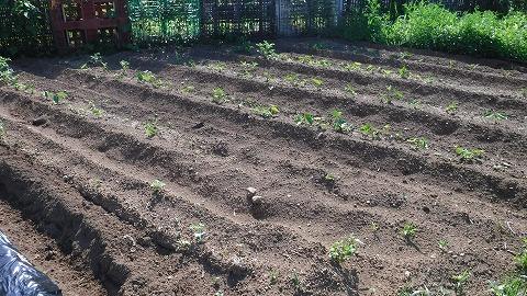 2017.5.20菜園14