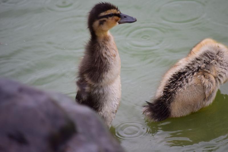 カモ子供ペンギンDSC_0790