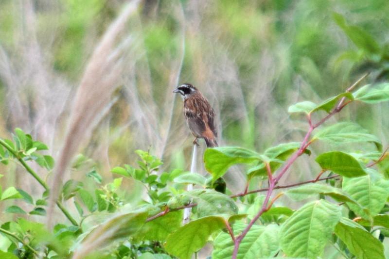 堤防鳥_040DSC_0372ホオジロ