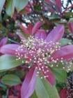 紅カナメモチ花